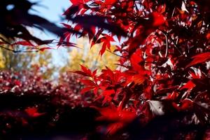 redleaves